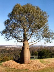 more examples of the majestic beauty the queensland bottle tree exhibits